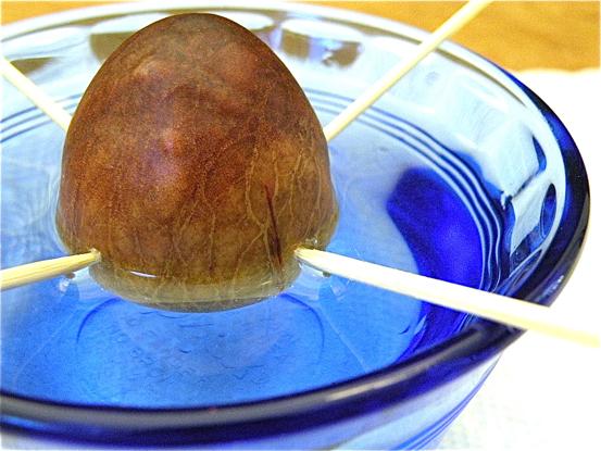 avocado_pit_glass