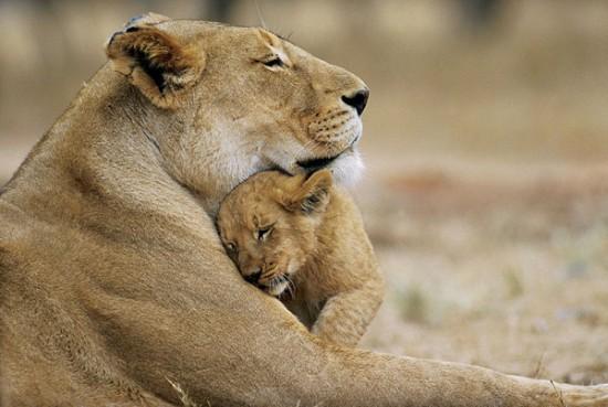 Родителската любов при животните – 20 трогателни снимки