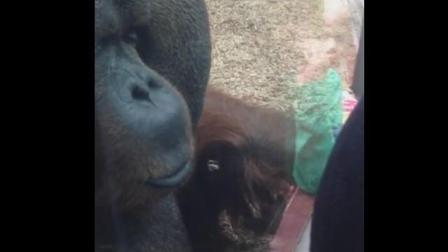 Орангутан целува корема на бременна жена