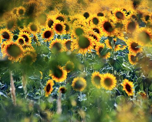 Слънчоглед и Слънце