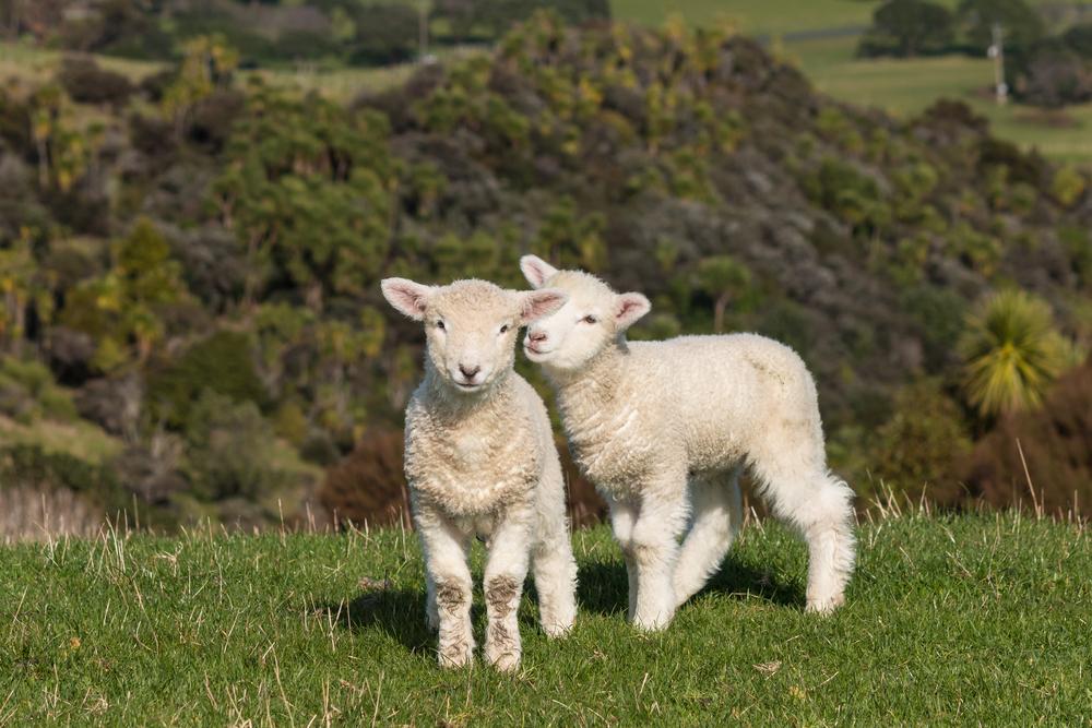 baby-lamb