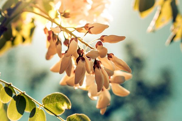 Бялата акация – нещо различно, полезно и вкусно